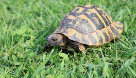 Turtle on Meadow