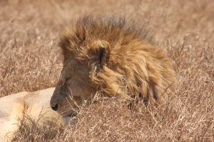 Profile view of lion resting in dry grass landscape