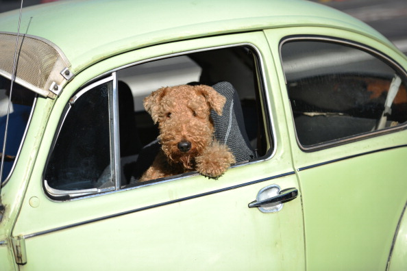 Dog Drives Car