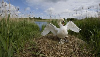 Mute Swan (Cygnus olor) nesting in reed bed, Norfolk, UK (5 of 5)