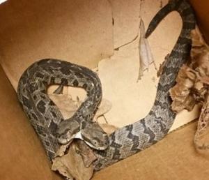 2 Headed Rattlesnake