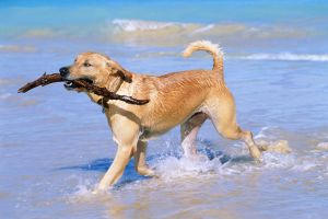 Golden Retriever on beach with stick