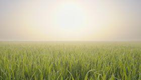 Corn field in spring at morning.