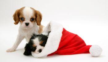 Christmas Spaniels