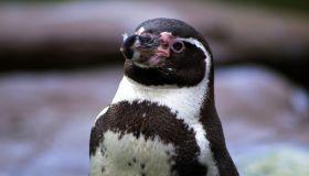 Portrait Of Humboldt Penguin